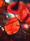 Les feuilles vives de l'automne Photo libre de droits