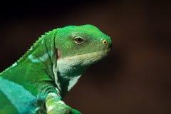 Les Fidji ont réuni l'iguane que le fasciatus de Brachylophus est des espèces arborescentes de lézard photographie stock libre de droits