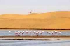 Les flamants abandonnent des dunes lac, Namibie, Afrique Photos libres de droits