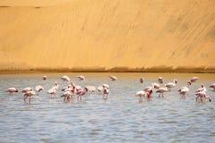 Les flamants abandonnent l'eau de lac de dunes, Namibie, Afrique Image libre de droits