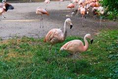 Les flamants tiennent le zoo à Prague Photos stock
