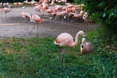 Les flamants tiennent le zoo dans des oiseaux de Prague Images stock