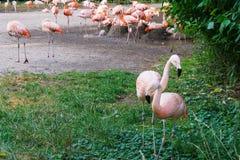 Les flamants tiennent le zoo dans le concept d'amour de Prague Image stock