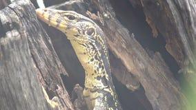 Les flavescenes opacifiés mignons et petits d'indicus de Varanus de lézard de jaune de moniteur se repose dans un arbre, se cacha banque de vidéos