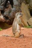 les flavovittis ont meulé l'écureuil de paraxerus barré Photo stock