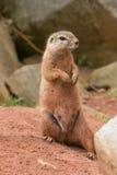 les flavovittis ont meulé l'écureuil de paraxerus barré Images stock