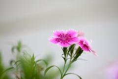 Les Fleur de Printemps Arkivfoton