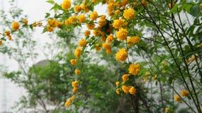 Les fleurons d'or fleurissent la branche accrochante Famille : Famille de Rose photographie stock