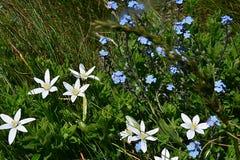 Les fleurs aiment les étoiles blanches et bleues dans l'herbe photos libres de droits
