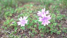 les fleurs Blanc-roses de Malva tremblent sur un vent d'été sur un flanc de coteau banque de vidéos