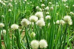Les fleurs blanches de l'oignon vert sur un jardin enfoncent, Image stock