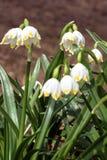 Les fleurs blanches de ressort merveilleux sont des perce-neige avec des rayons du soleil photos stock