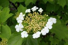 Les fleurs blanches du viburnum Photographie stock