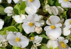Les fleurs blanches fleurissent et en vente dans le flo Photos libres de droits