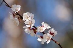 Les fleurs blanches fleurissent sur une branche d'un arbre fruitier Photographie stock libre de droits