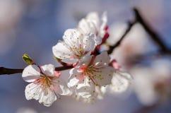 Les fleurs blanches fleurissent sur une branche d'un arbre fruitier Photo stock