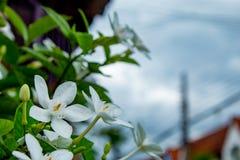 Les fleurs blanches ou l'antidysenterica R de Wrightia BR Images libres de droits