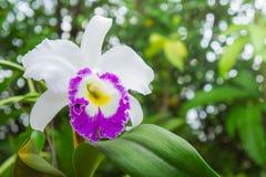 Les fleurs blanches ou l'orchidée de cattaleya fleurit la floraison dans la nature Photos libres de droits