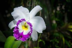 Les fleurs blanches ou l'orchidée de cattaleya fleurit la floraison dans la nature Images libres de droits