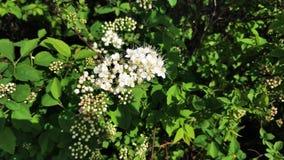 Les fleurs blanches sur les buissons balancent du vent clips vidéos