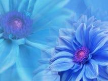 Les fleurs bleues de dahlia, sur le bleu ont brouillé le fond closeup Carte florale lumineuse de composition pour les vacances illustration stock