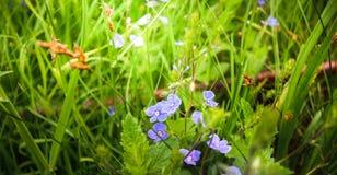 Les fleurs bleues douces de chamaedrys- de Veronica nous regardent des profondeurs de l'herbe photos libres de droits