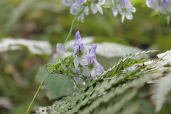 Les fleurs bleues se développent dans la forêt Images libres de droits