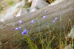 Les fleurs bleues se développent en asphalte Photographie stock libre de droits