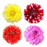 les fleurs colorées de dahlia ont placé Image stock