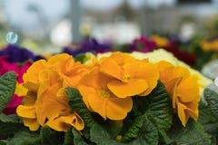 Les fleurs colorées de jardin se ferment vers le haut du macro tir images stock