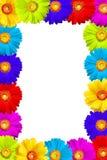 les fleurs colorées encadrent le gerbera Image libre de droits