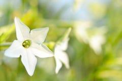 Les fleurs délicieuses blanches sur le jardin engazonnent le fond Images stock