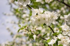 Les fleurs d'Apple ont lieu bonjour de ressort ! photos stock