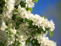 Les fleurs d'Apple se ferment vers le haut de 1 Images libres de droits