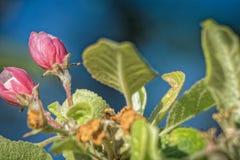 Les fleurs d'Apple se sont levées Images stock