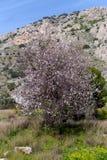 Les fleurs d'arbre d'amande dans les montagnes photographie stock libre de droits