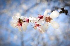 Les fleurs d'arbre d'amande avec son fruit Photo stock