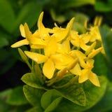Les fleurs d'asoka de jaune Photos libres de droits