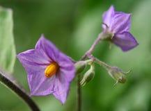 Les fleurs d'aubergine qui fleurissent dans le pollen indique clairement photographie stock