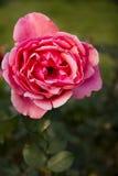 Les fleurs d'automne, se sont levées Photographie stock