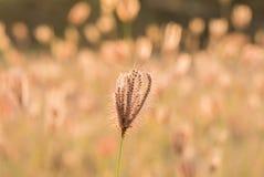 Les fleurs d'herbe et la lumière de soirée semblent attrayantes photo libre de droits