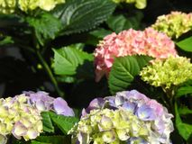 Les fleurs d'hortensia de rose avec la lumière gentille Photographie stock