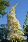 Les fleurs d'un buisson de papillon blanc avec le fond de ciel bleu Photos stock
