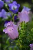 Les fleurs de Bell Image stock