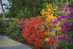 Les fleurs de bouganvillée se développe dans le jardin images libres de droits