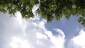Les fleurs de branche d'arbre de tilleul se déplacent en vent sur le fond de ciel bleu 4K banque de vidéos