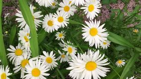 Les fleurs de camomille se ferment vers le haut Nature d'été, gisements de fleur, pré de fleur sauvage, botanique et biologie, vi banque de vidéos