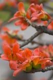 Les fleurs de capoc Images libres de droits