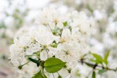 Les fleurs de cerise Photo stock