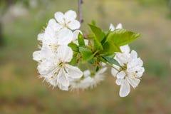 Les fleurs de cerise Images stock